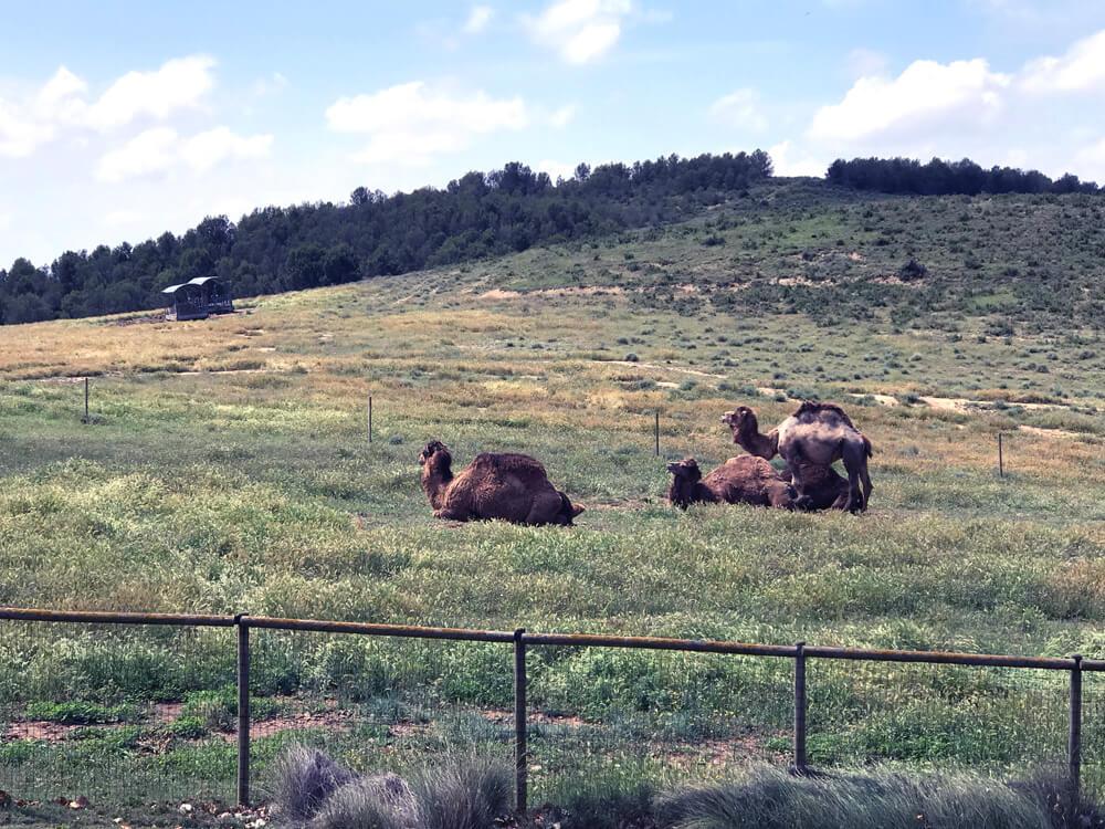 Dromedarios y camellos en Sendaviva